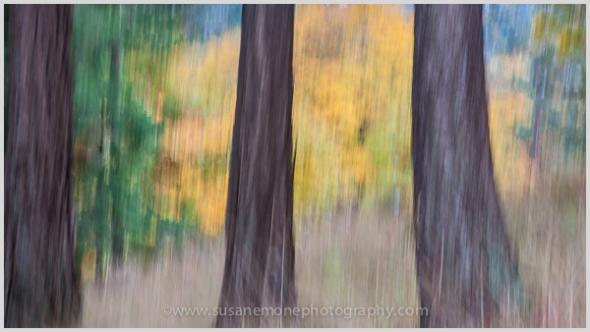 Douglas fir trunks highlighted by maple leaves