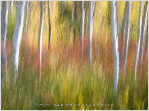 Aspen trees and vine maples in the fall