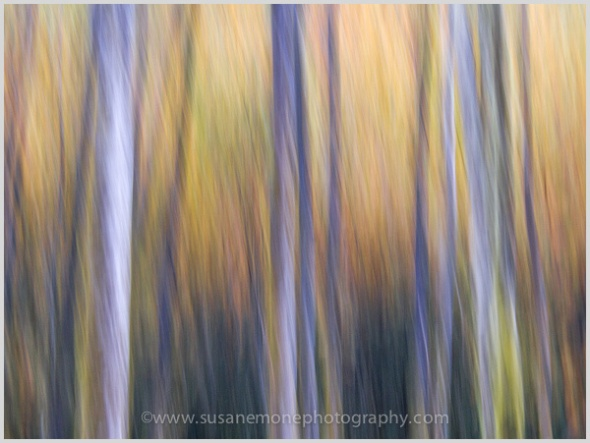 Aspen trees on a late Fall day