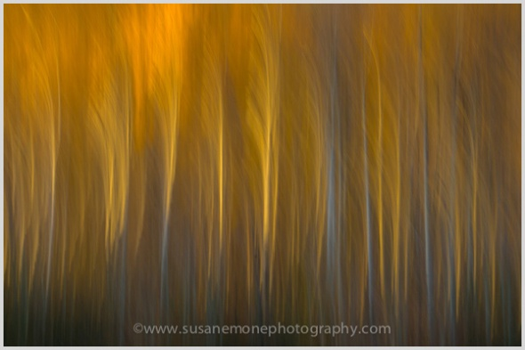 Aspen trees with sunset light in the fall