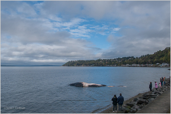 Early morning at high tide most of the whale was submerged