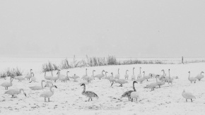 Trumpeter Swans in the snow on the Samish Flats, Skagit County, WA