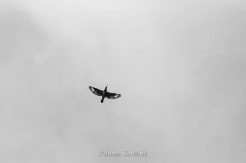 sch_140406_01785 belted kingfisher in flight