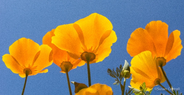California Poppies - film grain added in Adobe Lightroom