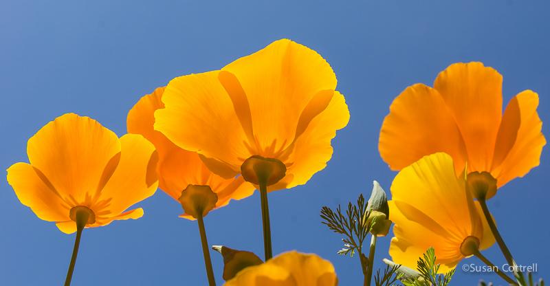 California Poppies - no polarizer, no color enhancement