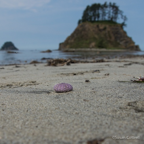 Sea urchin shell on the beach at Cape Alava. Tskawahyah Island in the background.