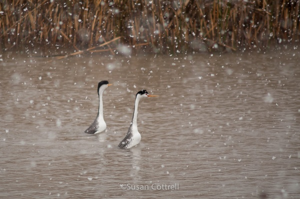 Clark's and Western Grebe displaying