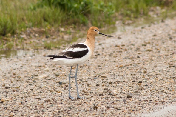 American Avocet at Bear River Migratory Bird Refuge