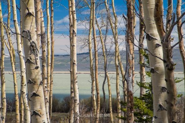 Aspen grove near Upper Red Rock Lake